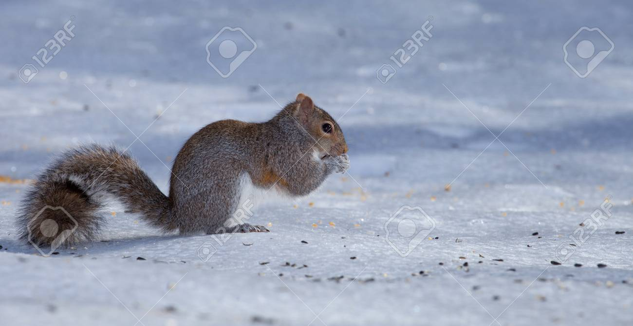Squirrel with its long tail that are on the ice and snow