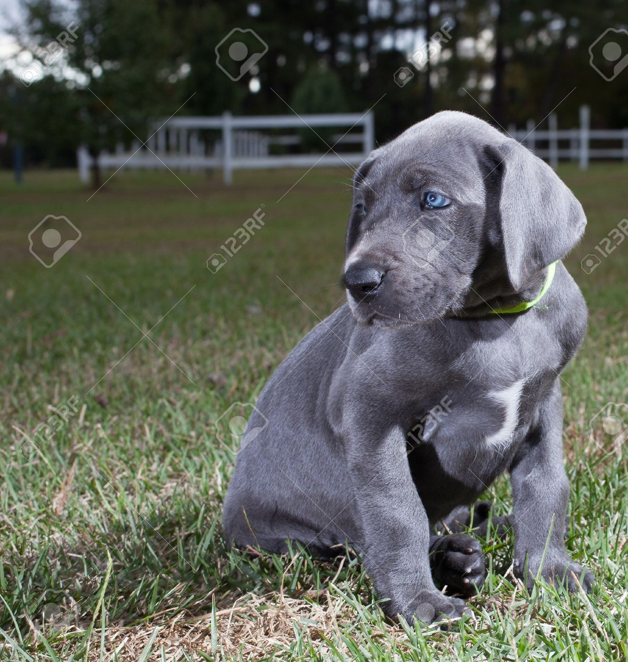 Single Gray Great Dane Puppy Sitting On The Grass Stock Photo Picture And Royalty Free Image Image 23213479