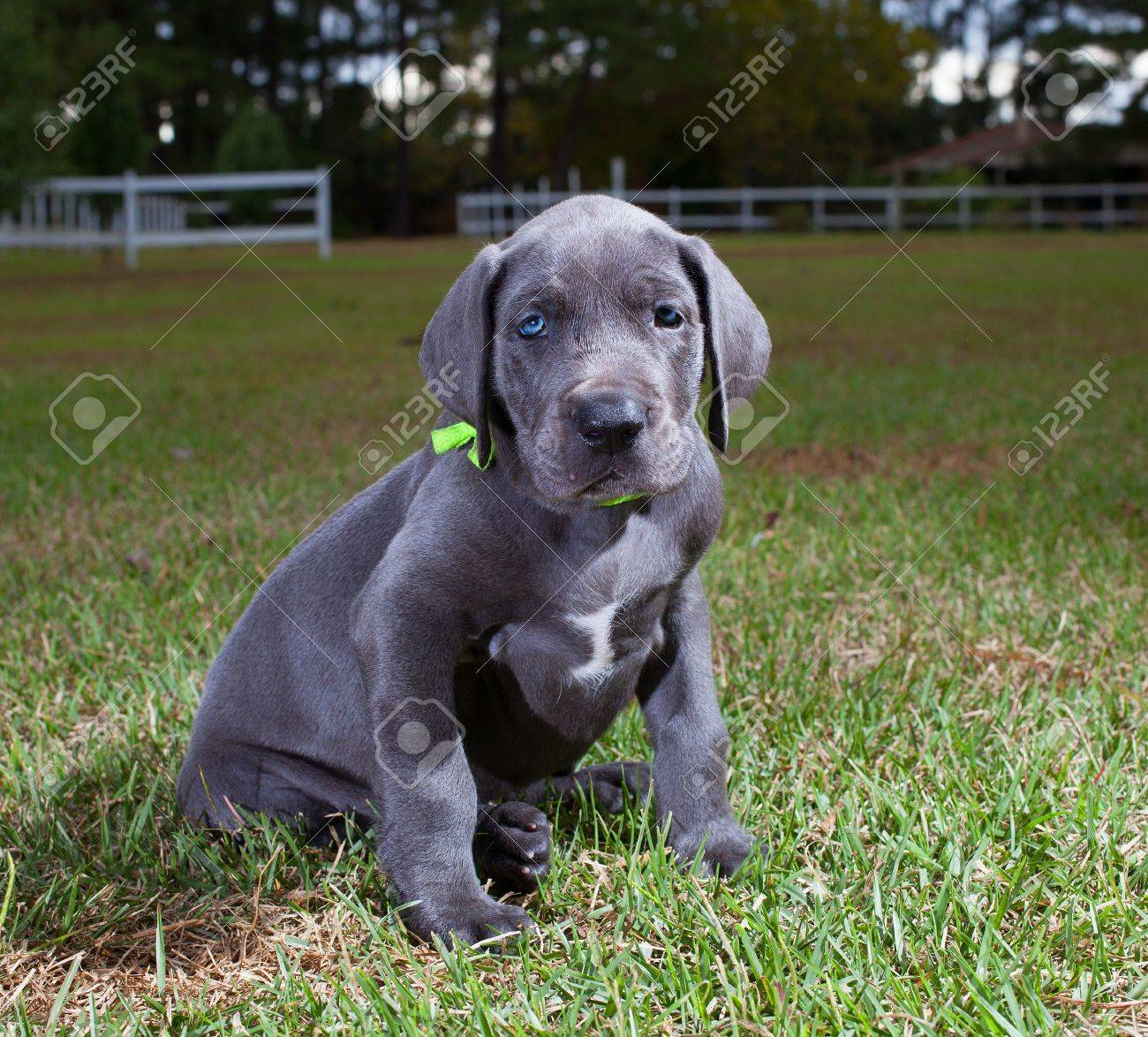 Great dane puppy with a bright green collar on the grass stock photo great dane puppy with a bright green collar on the grass stock photo 24728562 geenschuldenfo Image collections