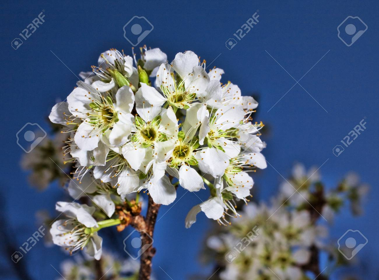 White plum flowers blossoming on the end of a branch stock photo stock photo white plum flowers blossoming on the end of a branch mightylinksfo