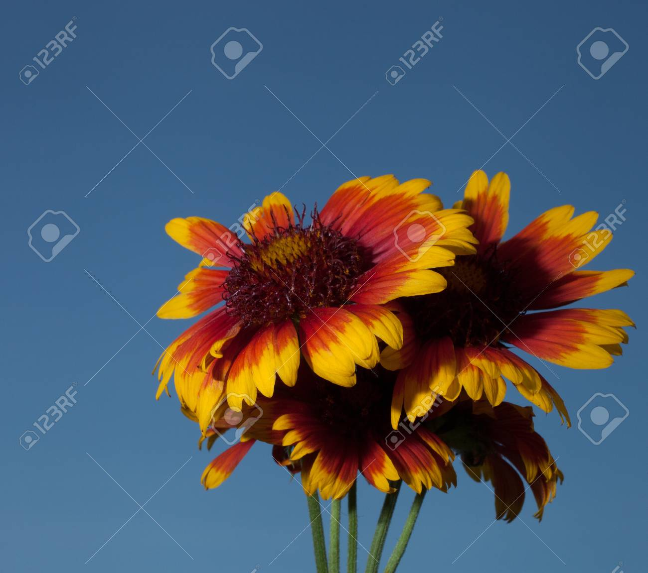 Orange And Yellow Flowers In Bloom With Blue For Background Stock