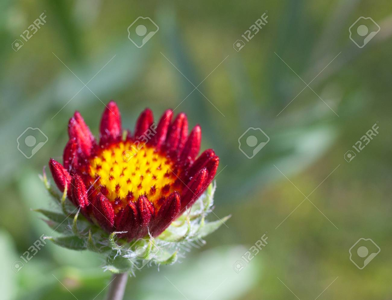 Bright Red And Yellow Flower Staring To Bloom In A Corner Of Stock