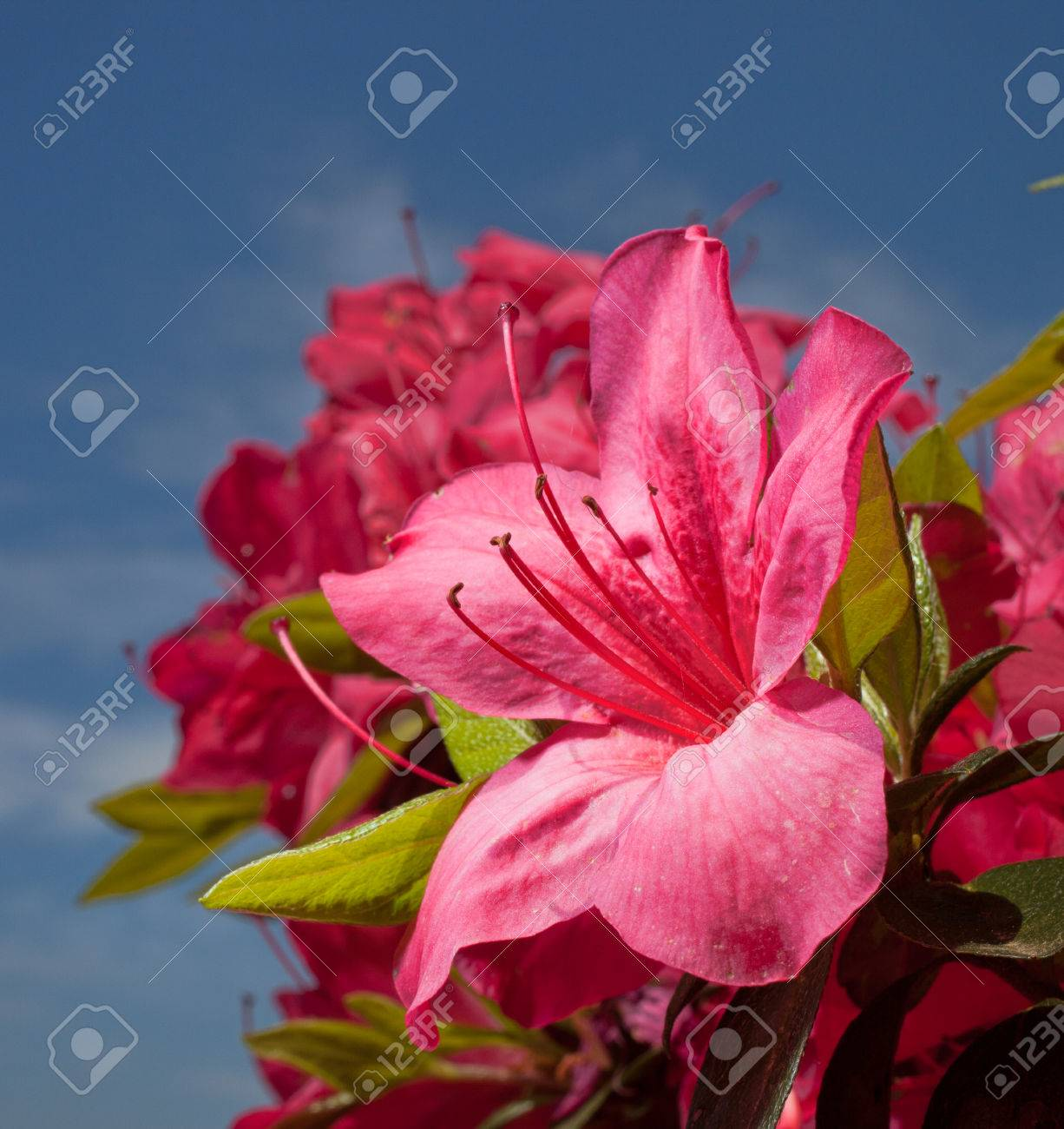 Bright Pink Flowers On An Azalea Bush With Clouds And Sky Stock