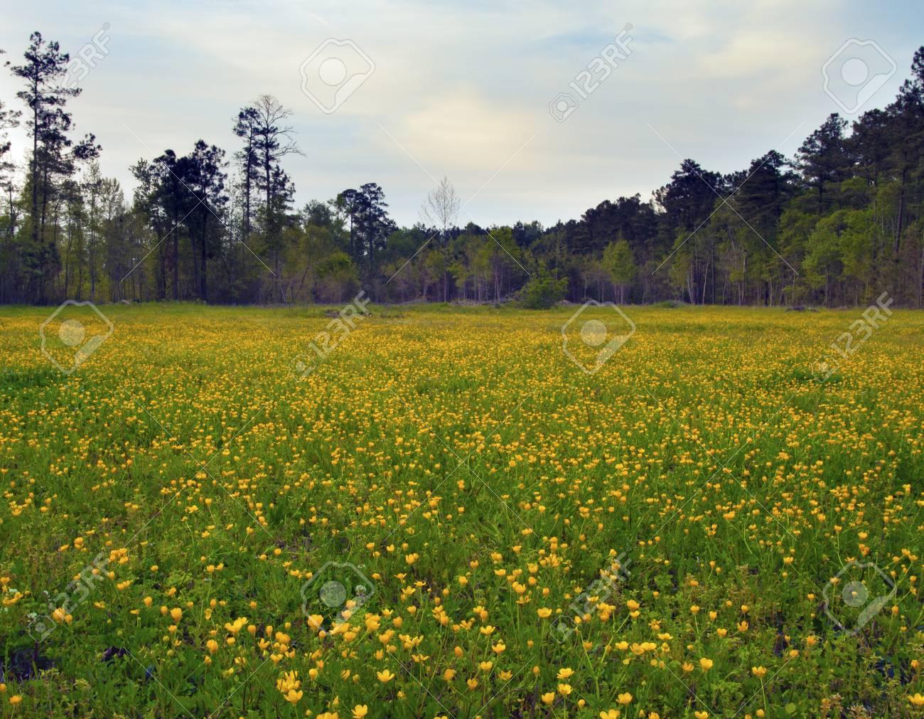 Fiori Gialli Da Campo.Immagini Stock Il Campo E Costeggiato Da Alberi Che E In