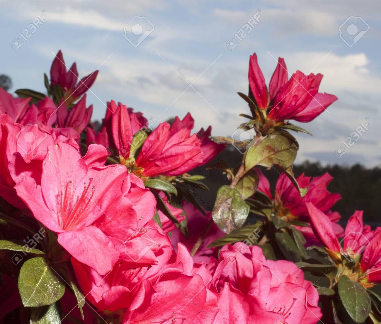 Deep pink flowers on an azalea in the early spring stock photo deep pink flowers on an azalea in the early spring stock photo 56871532 mightylinksfo