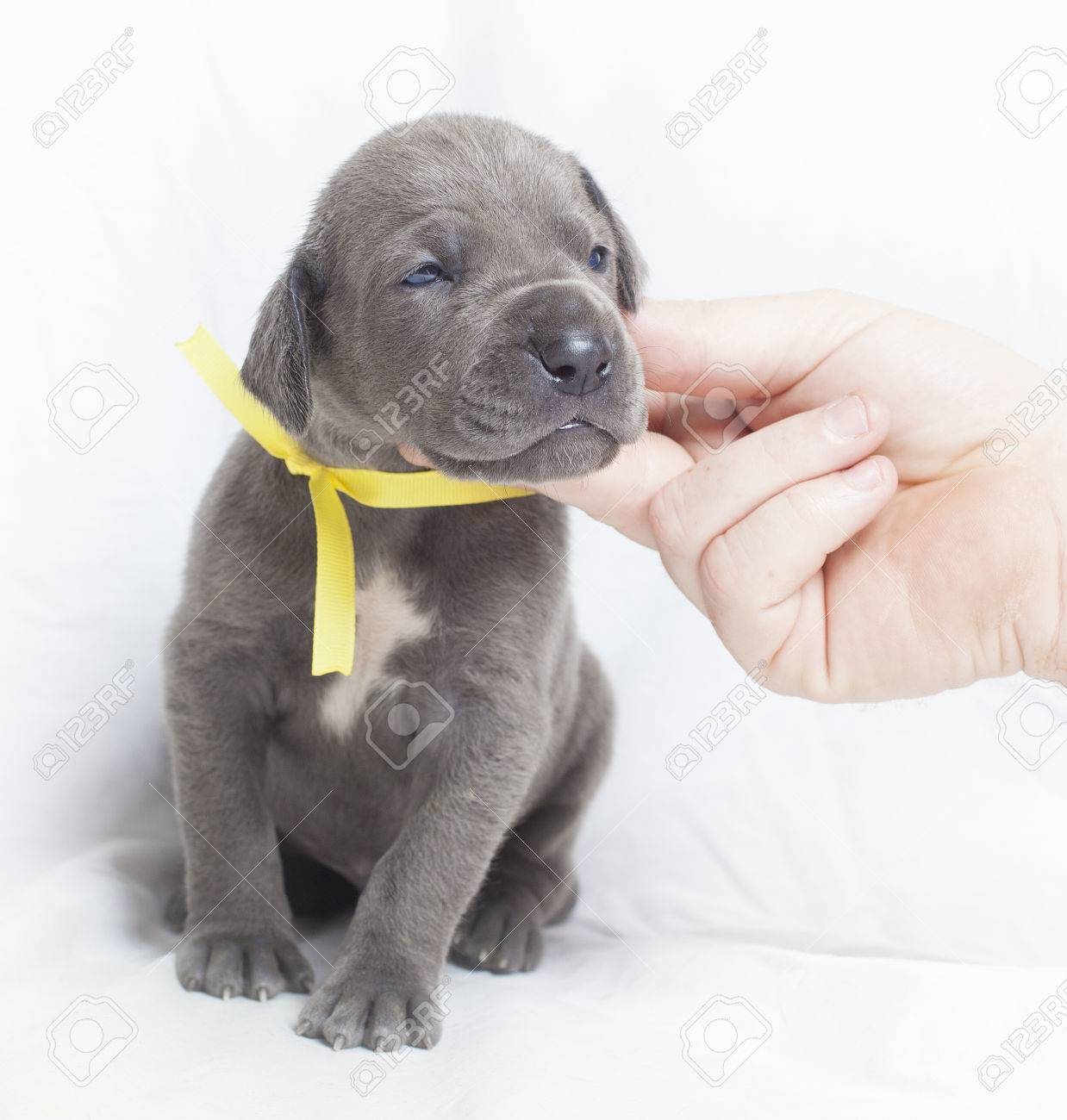 Young great dane puppy that looks happy it is being scratched stock young great dane puppy that looks happy it is being scratched stock photo 61612502 geenschuldenfo Image collections