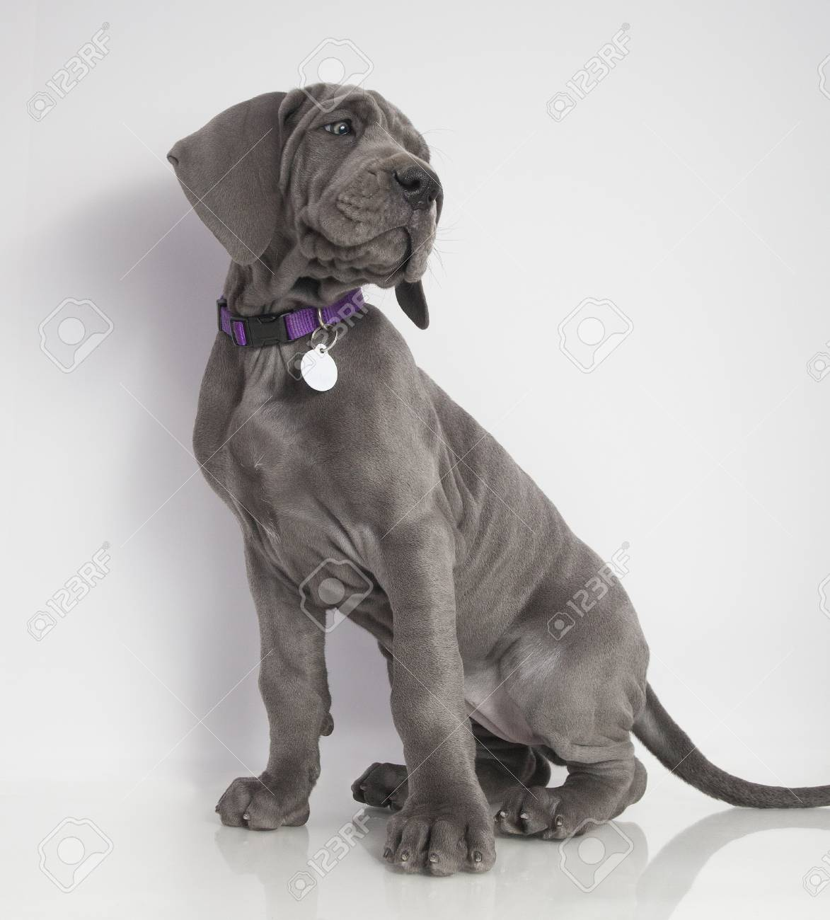 Gray Great Dane Puppy Sitting With A White Background Stock Photo Picture And Royalty Free Image Image 74237090