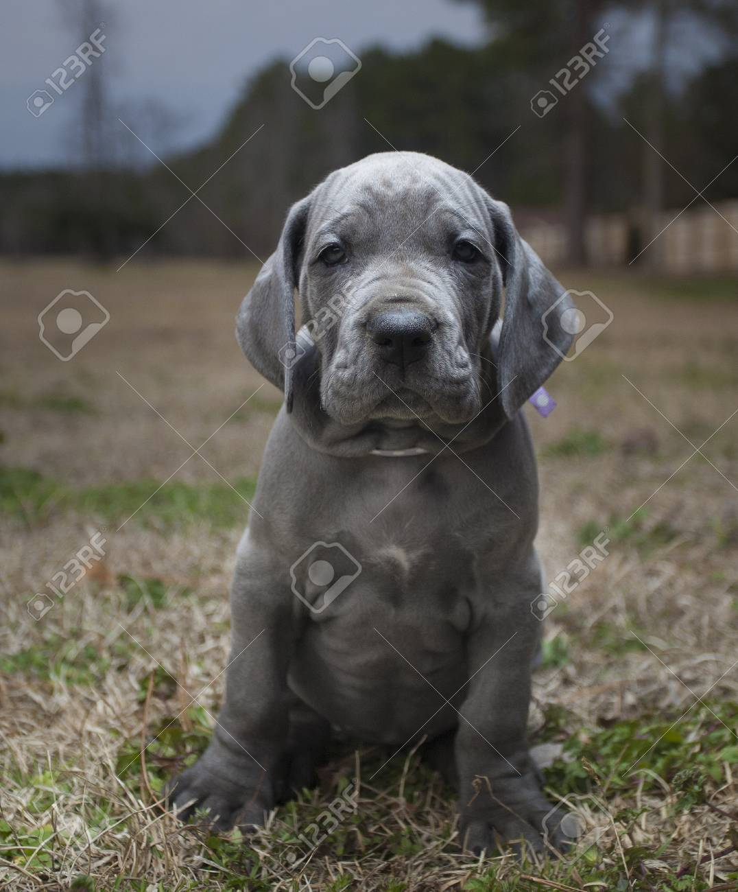 Gray Colored Purebred Great Dane Puppy On A Late Fall Field Stock Photo Picture And Royalty Free Image Image 89697475
