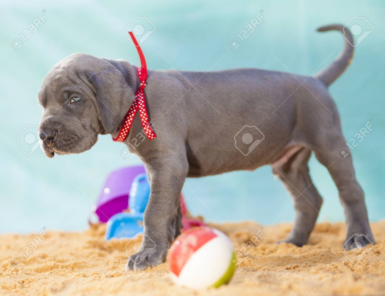 Great Dane puppy that apparently does not think it can take the