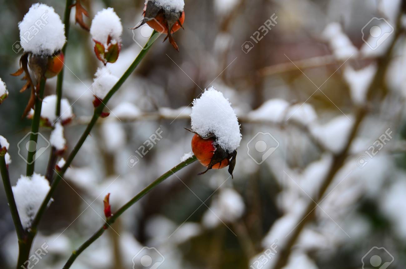receptacle of rose is under snow Stock Photo - 12193818