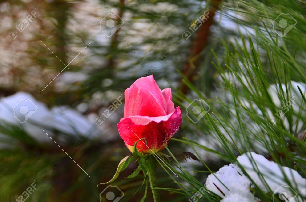 Fresh pink rose is near pine tree stock photo picture and royalty fresh pink rose is near pine tree stock photo 12193821 mightylinksfo