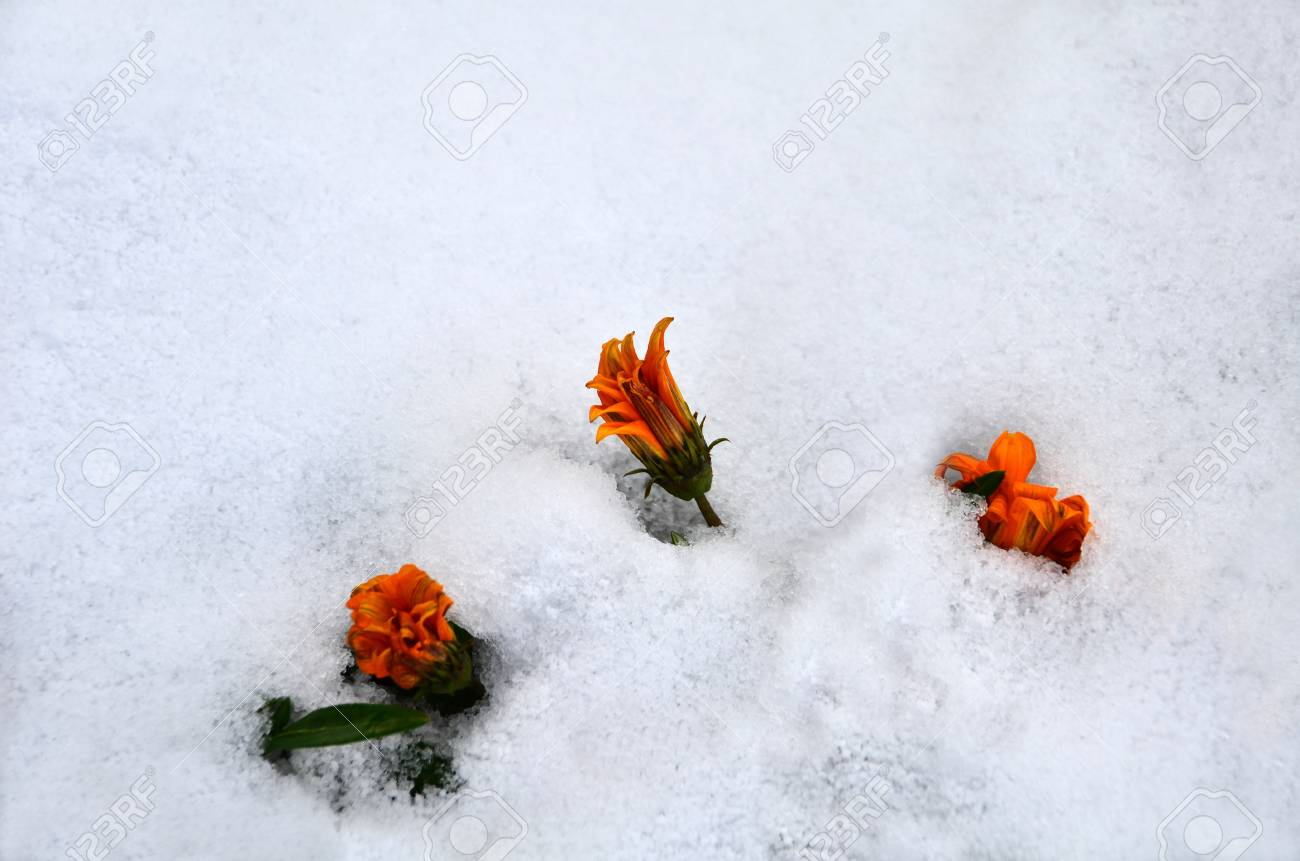 In winter, daisy flowers are standing under snow Stock Photo - 19697395