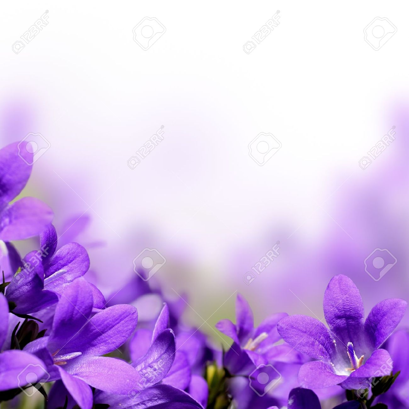 Campanula Spring Flowers Border Stock Photo Picture And Royalty