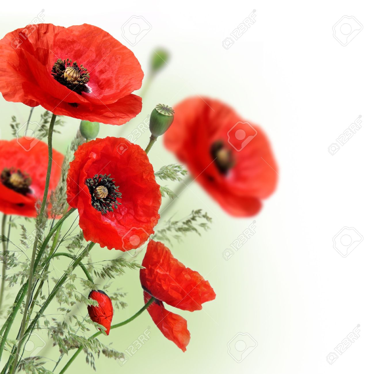 Poppies Flowers Border Stock Photo Picture And Royalty Free Image