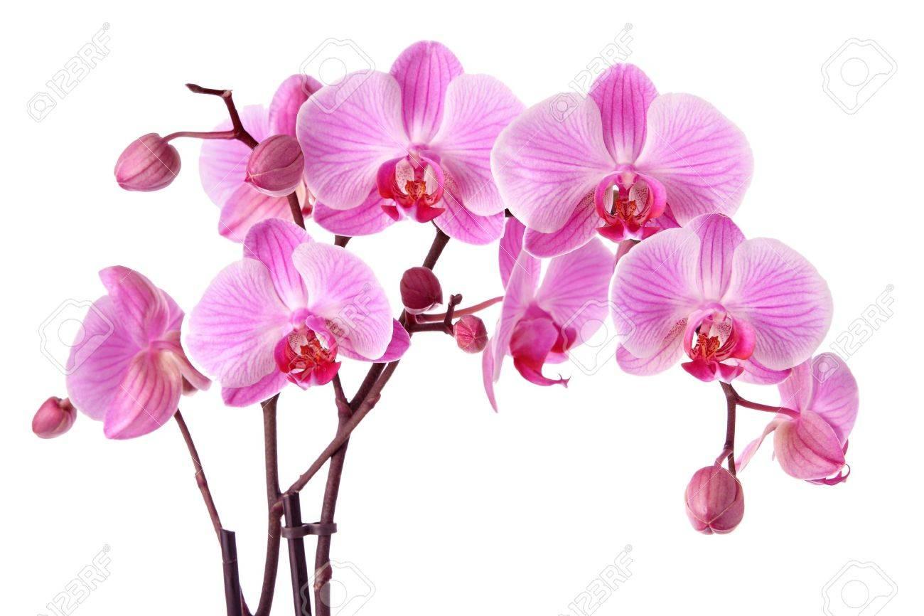 Foto de archivo , Orquídeas moradas aisladas sobre un fondo blanco