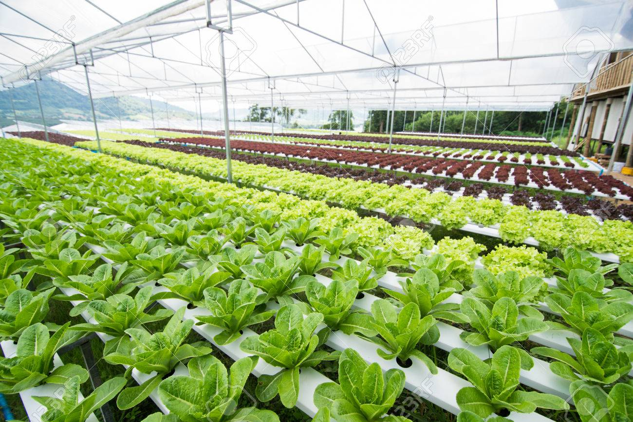Ordinaire Hydroponic Vegetables Growing In Greenhouse, Vegetables Non Toxic Stock  Photo   64988787