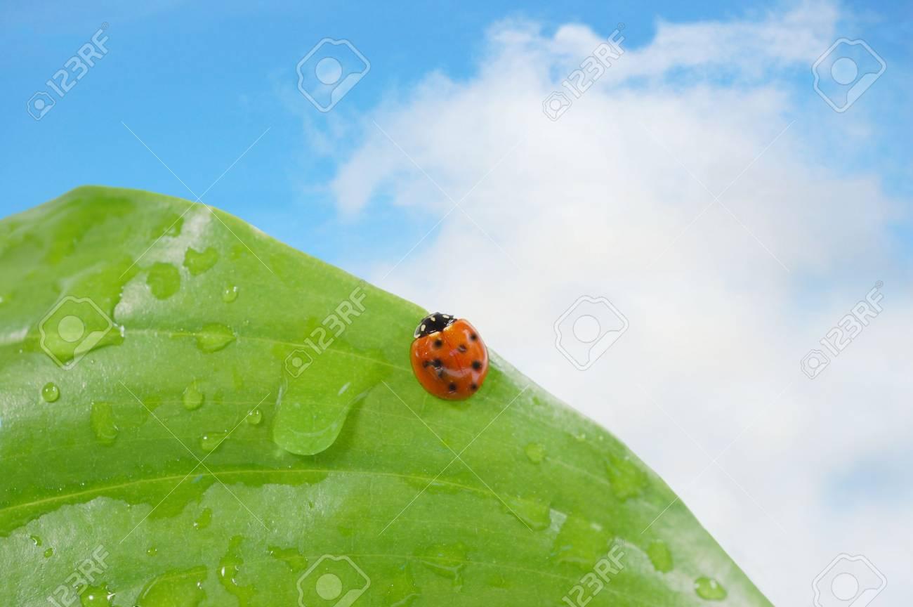 Ladybug on a leaf against blue sky Stock Photo - 3068302