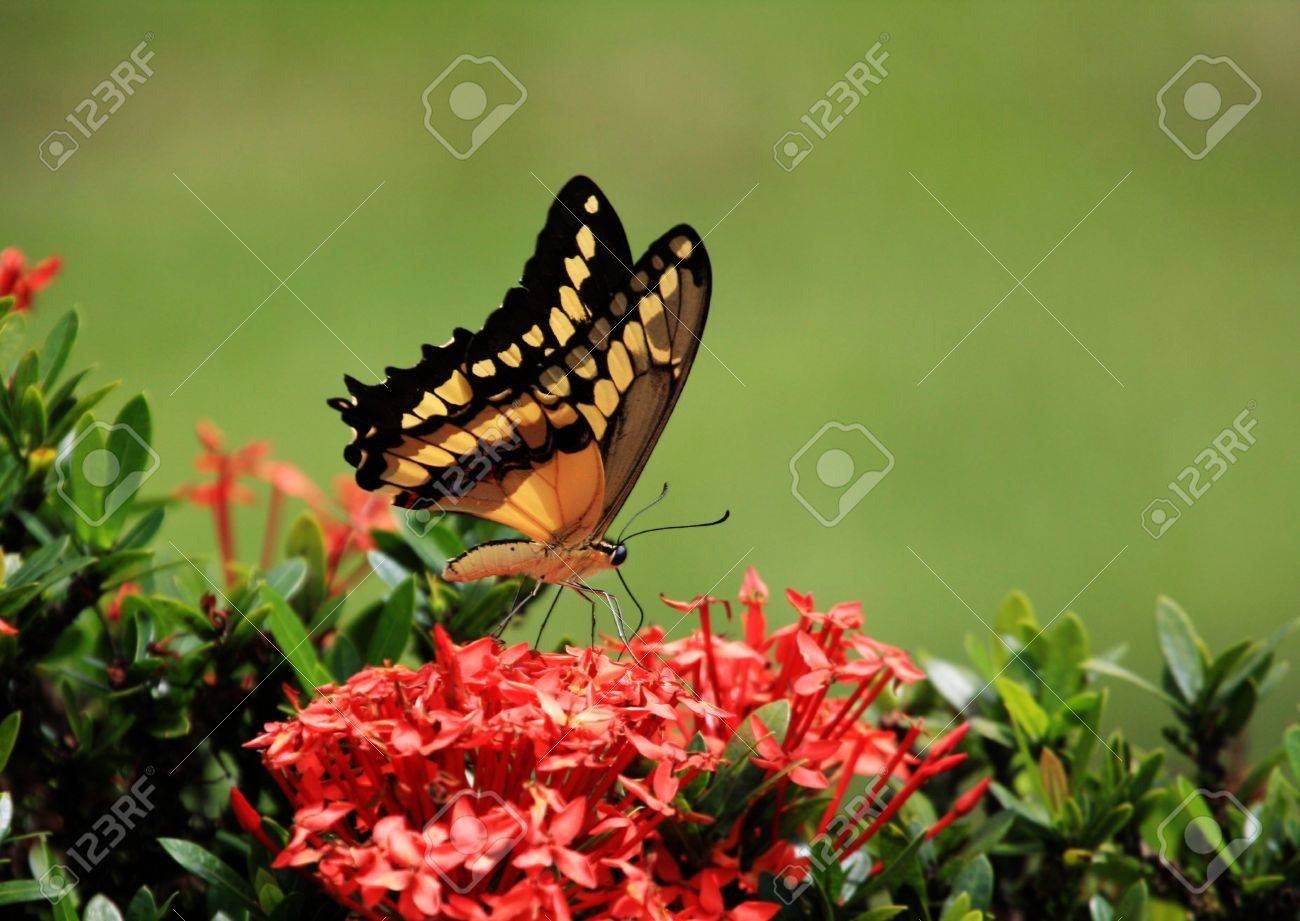 Beautiful giant swallow  tail Butterfly   feeding on some flowers Stock Photo - 8889159