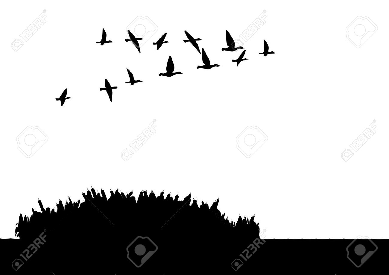 flying duck images u0026 stock pictures royalty free flying duck