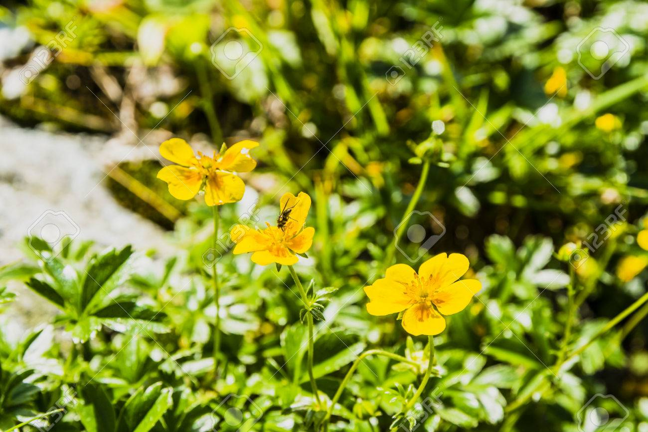 Yellow flowers potentilla aurea l from the family rosaceae stock yellow flowers potentilla aurea l from the family rosaceae stock photo 59220193 mightylinksfo