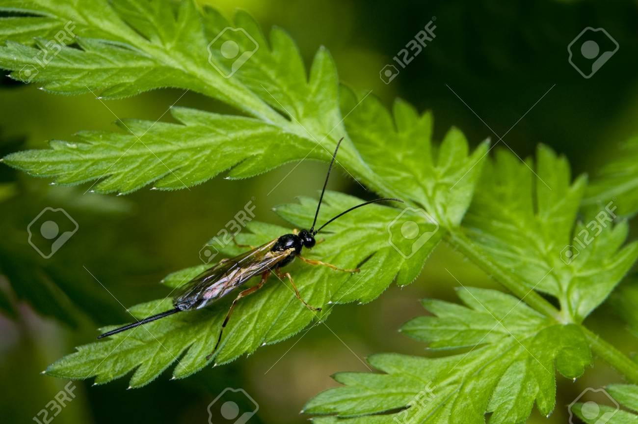 Ichneumonidae Stock Photo - 8262665