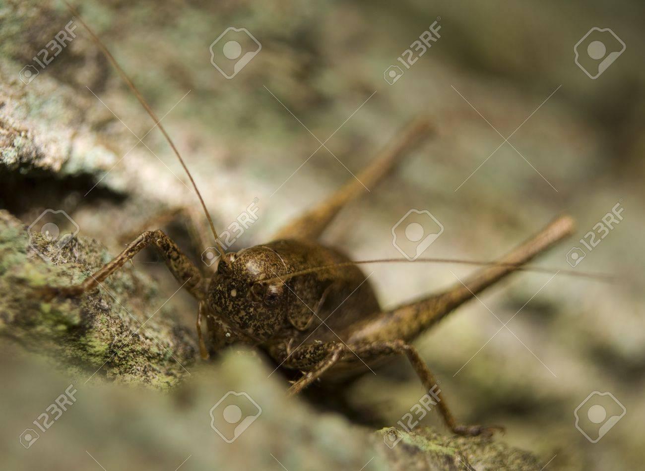 Pholidoptera griseoaptera Stock Photo - 8324050