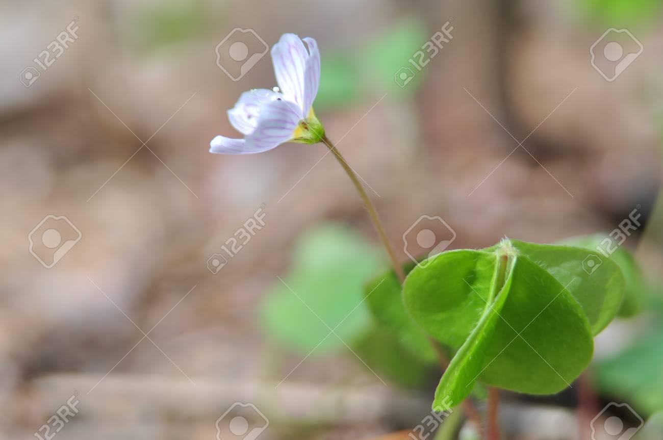 Oxalis acetosella Stock Photo - 8572114