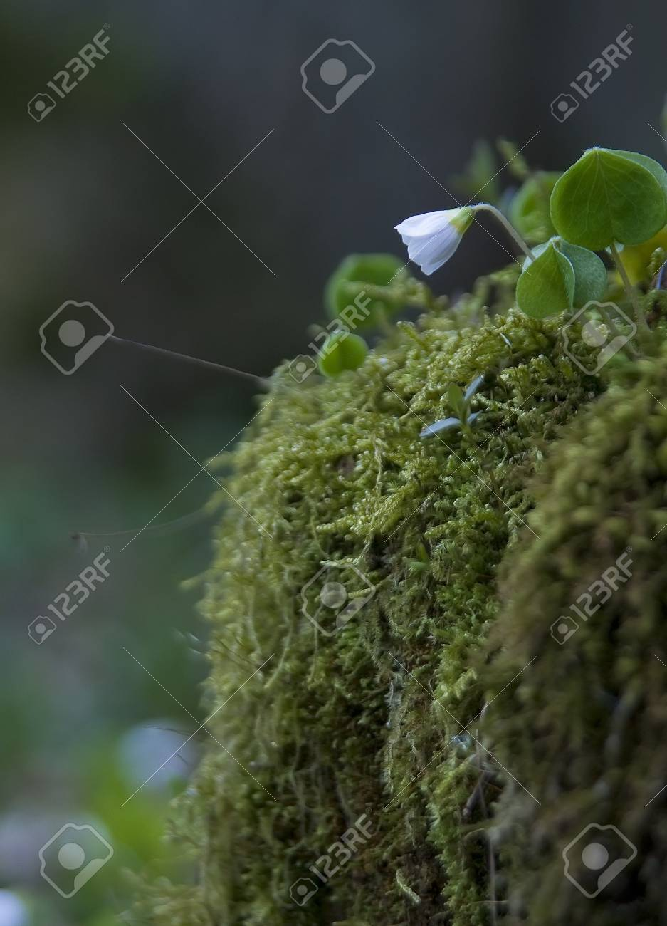 Oxalis acetosella Stock Photo - 8572073