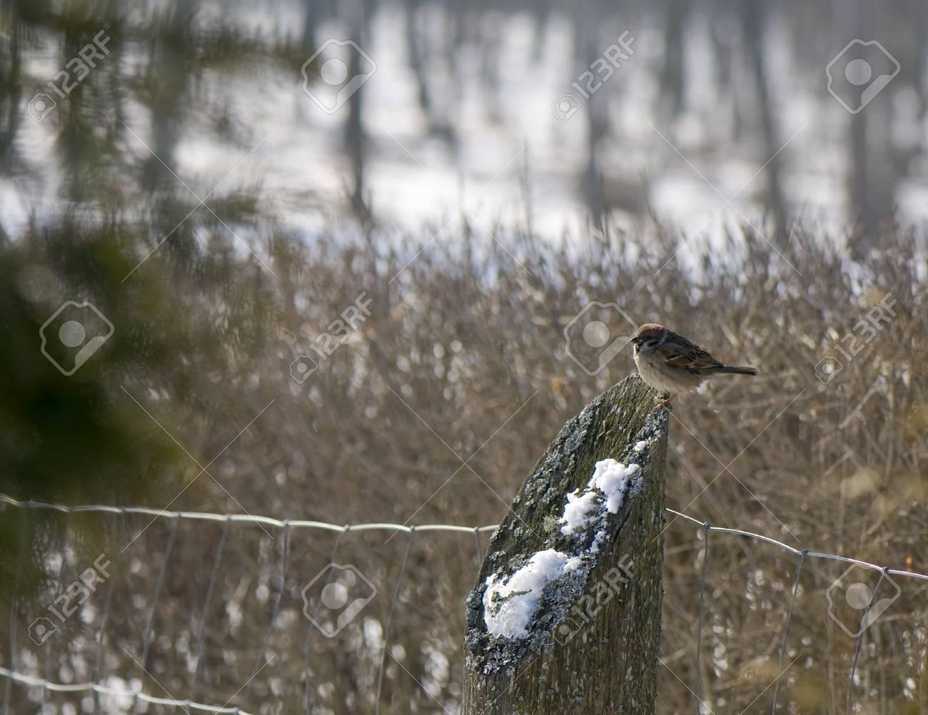 Sparrow tree sparrow, grasshopper sparrow, Passer, montanus Stock Photo - 8969041