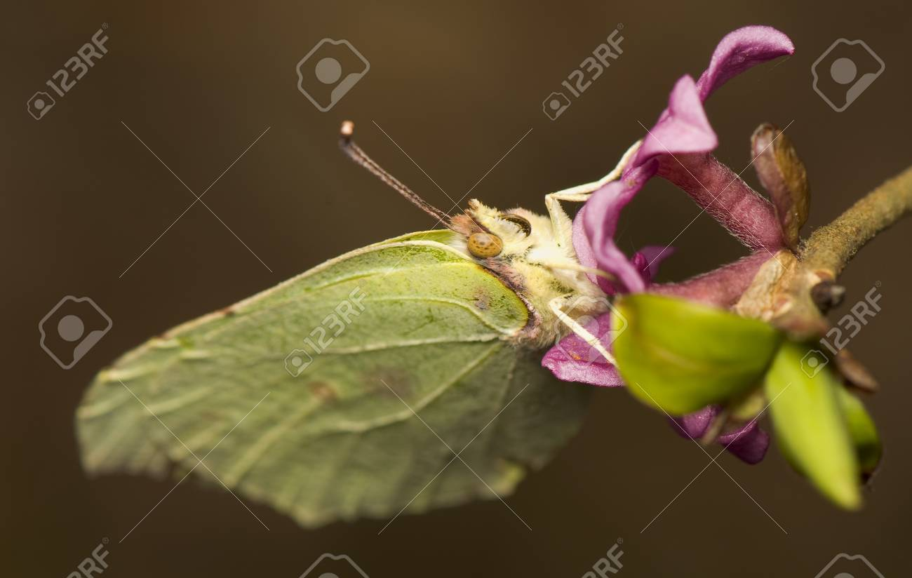Gonepteryx rhamni and Daphne mezereum Stock Photo - 9234939