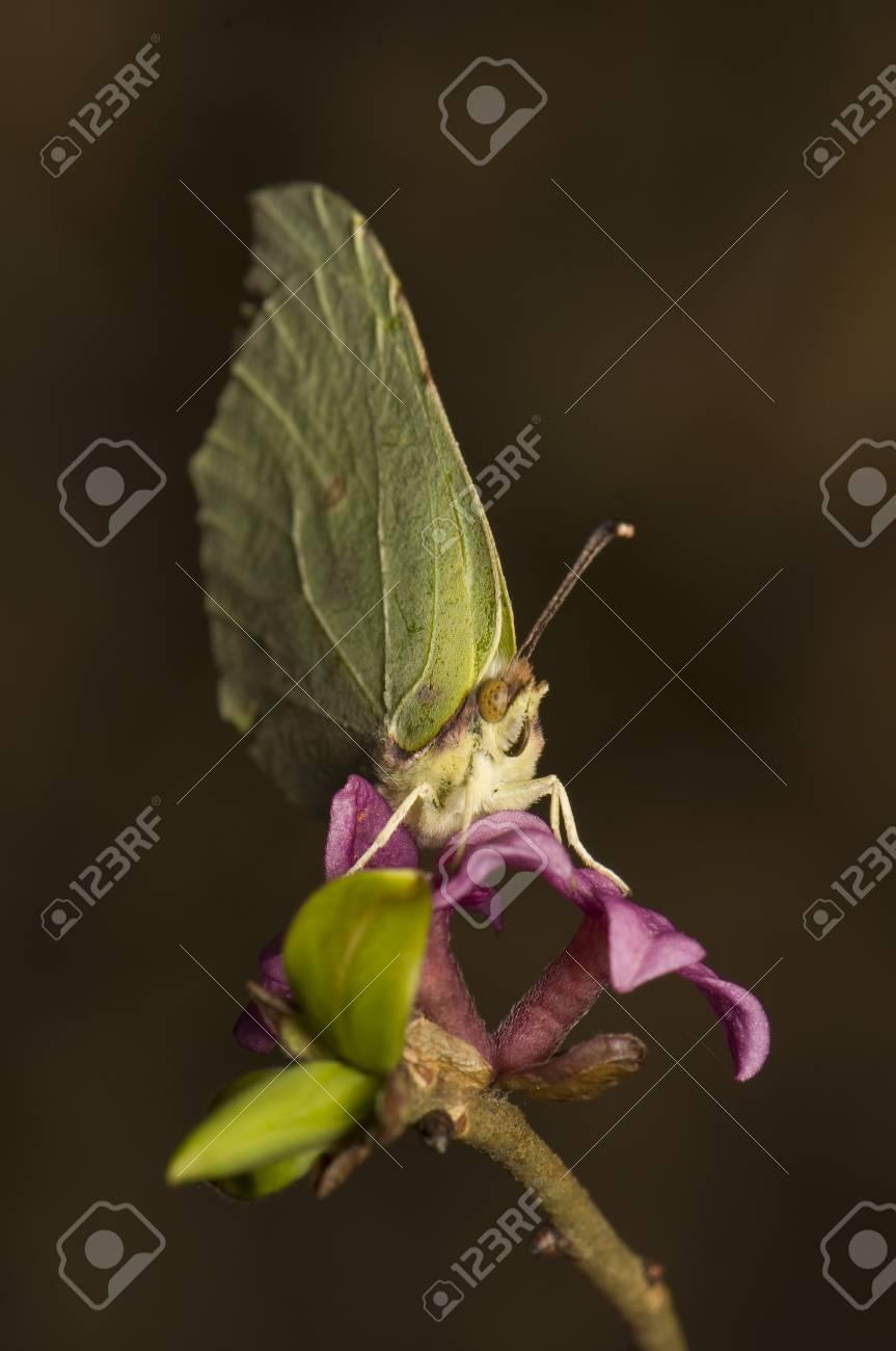 Gonepteryx rhamni and Daphne mezereum Stock Photo - 9234951