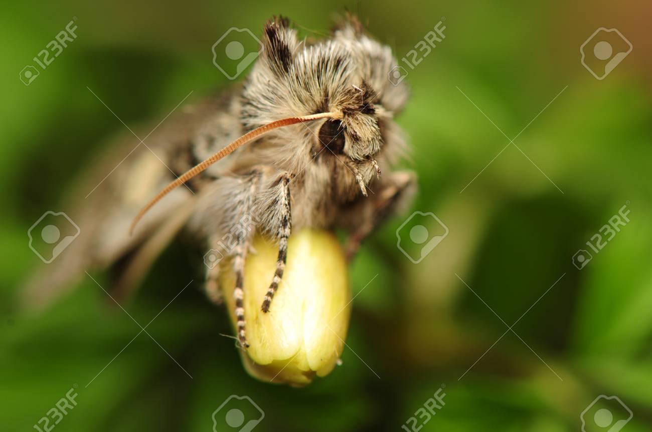 Achlya flavicornis Stock Photo - 9257888