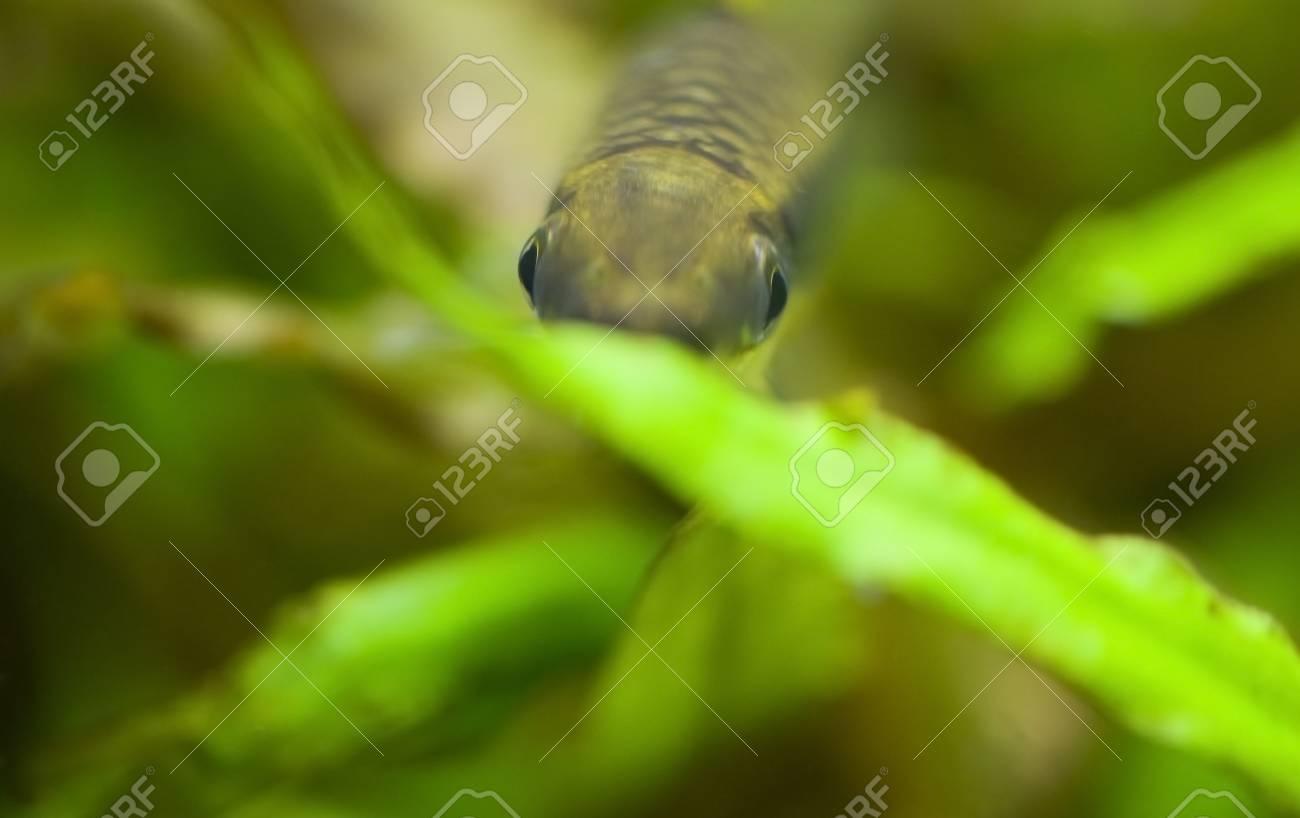 Crossocheilus siamensis Stock Photo - 11494699