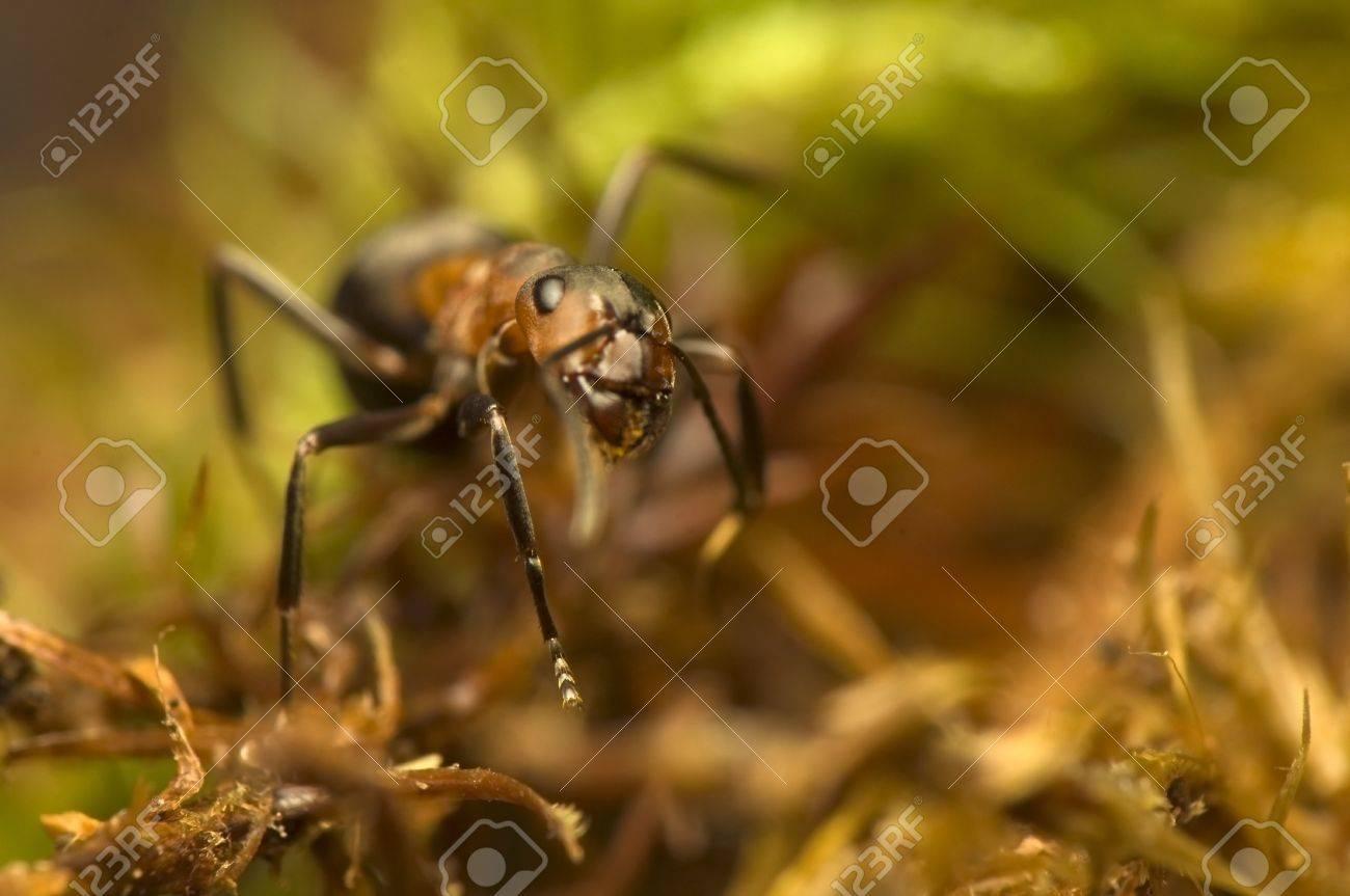 Ant - Formica rufa Stock Photo - 11755755