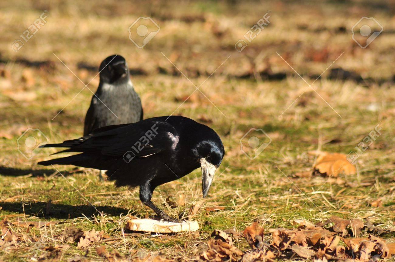 Corvus frugilegus Stock Photo - 12697478