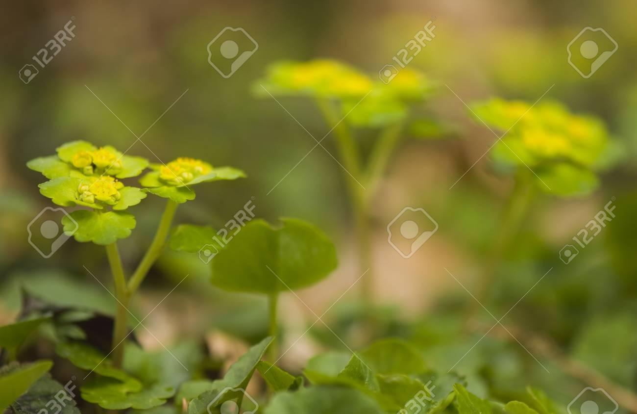 Chrysosplenium alternifolium Stock Photo - 13328638