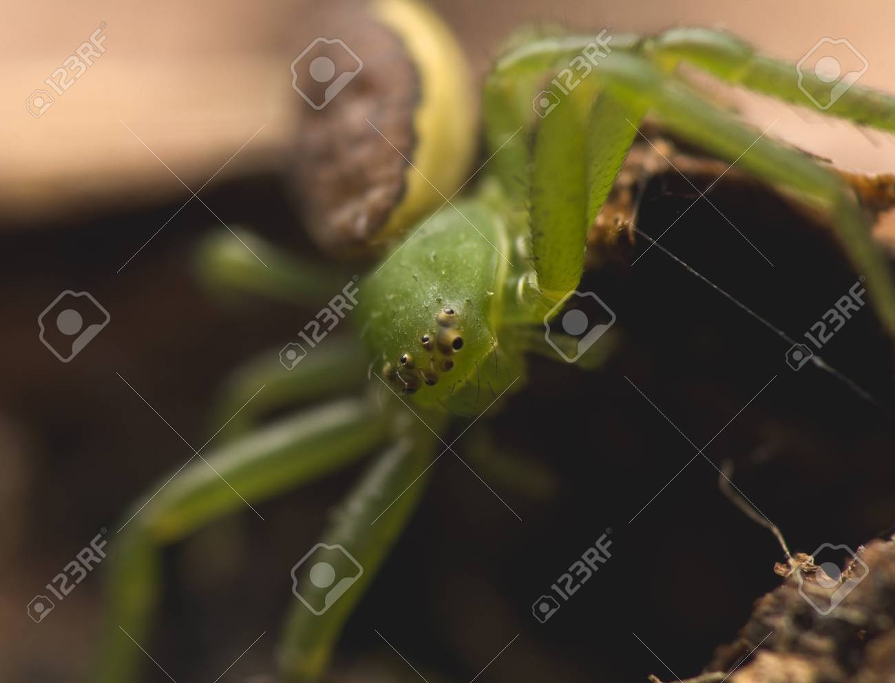 Diaea dorsata Stock Photo - 13328606