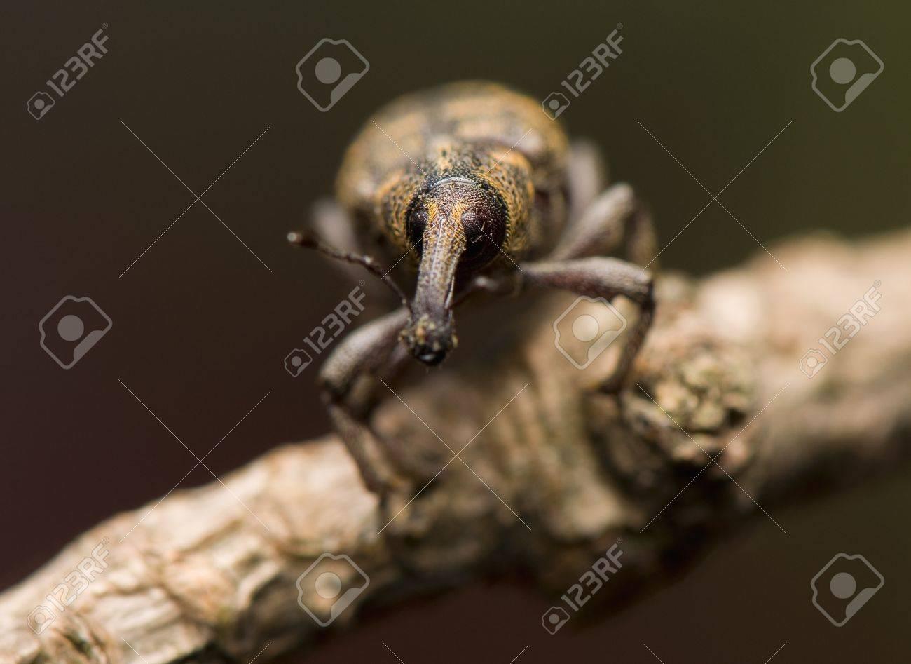 Hylobius abietis Stock Photo - 13406904
