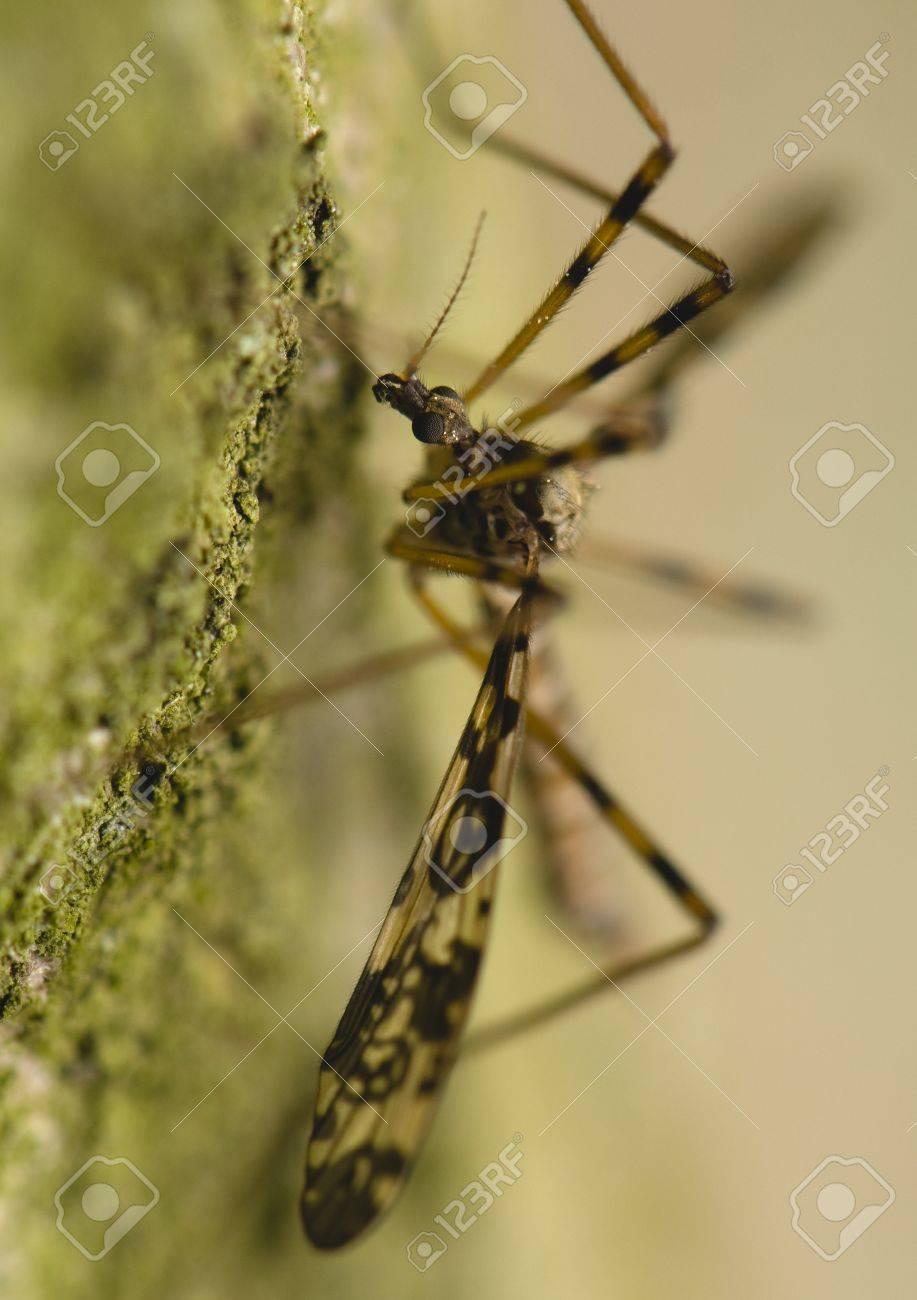 Tipulidae Stock Photo - 13724237