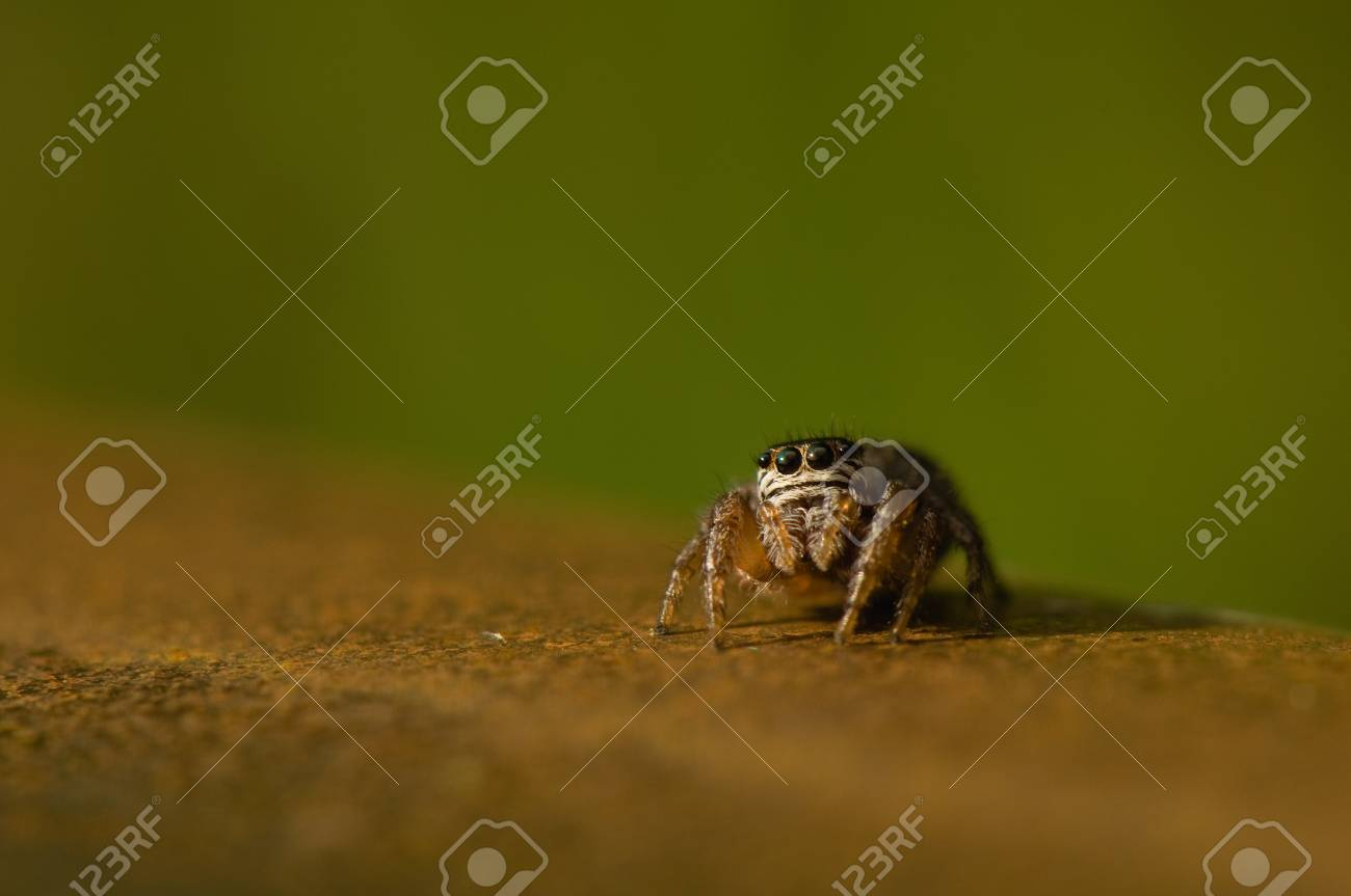Jumping spider Stock Photo - 13773376