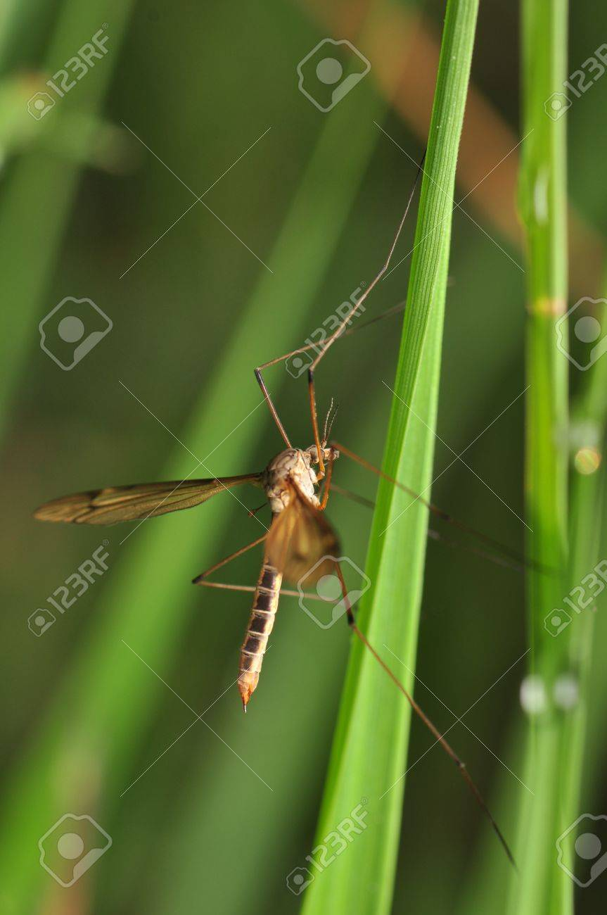 Tipulidae Stock Photo - 13897607