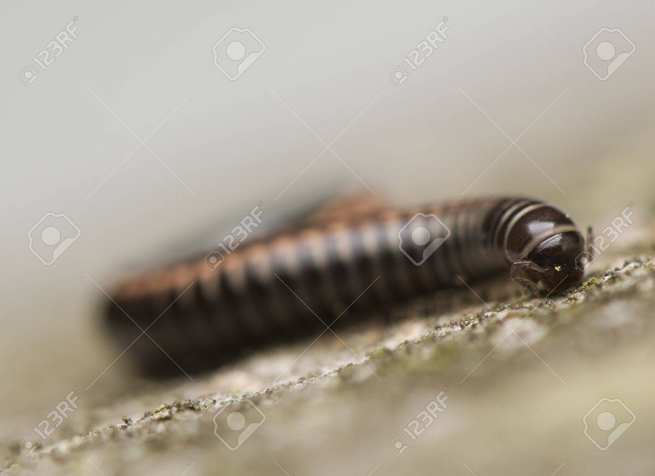 Myriapoda Stock Photo - 14391212