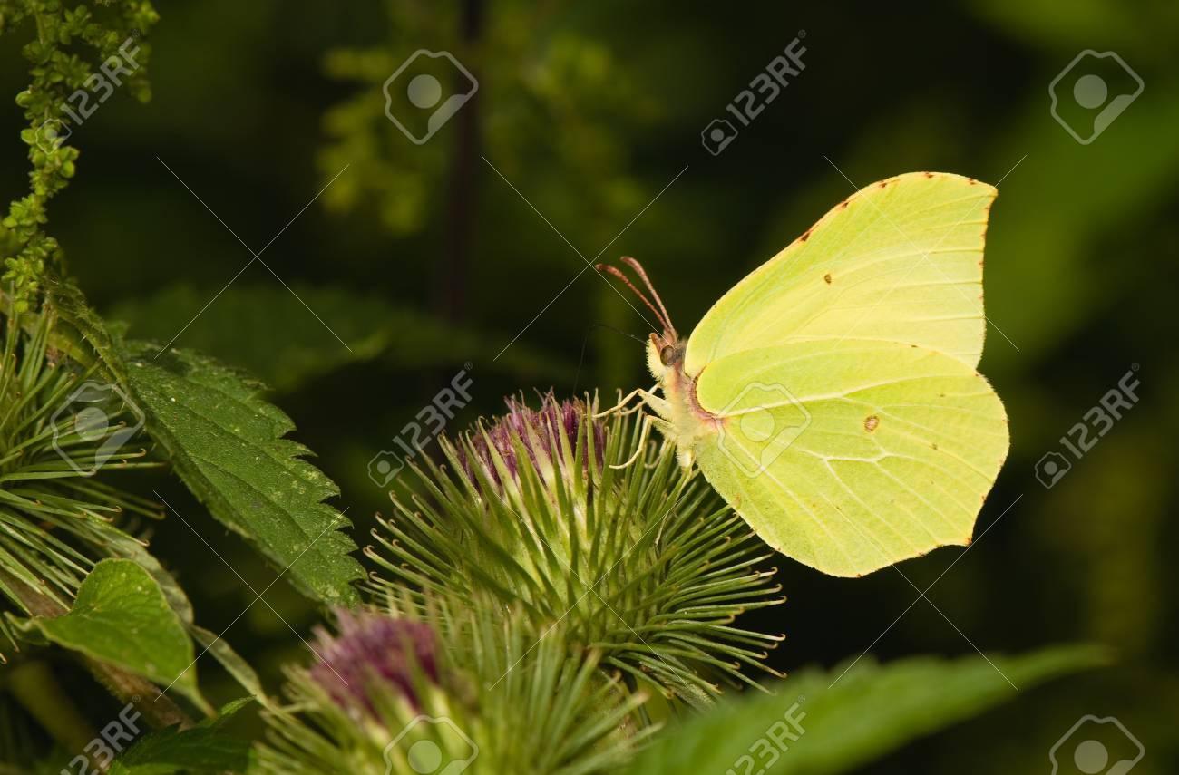 butterfly Brimstone Gonepteryx rhamni Stock Photo - 14769831