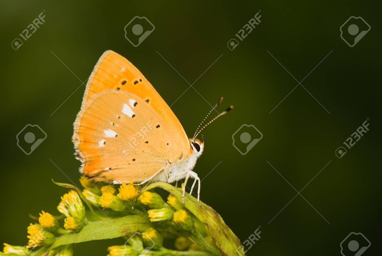 butterfly Lycaena virgaureae Stock Photo - 14769795