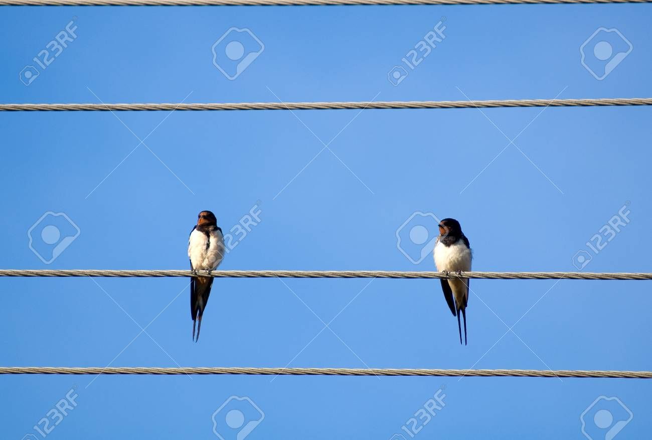 Swallow Stock Photo Picture And Royalty Free Image 14915824