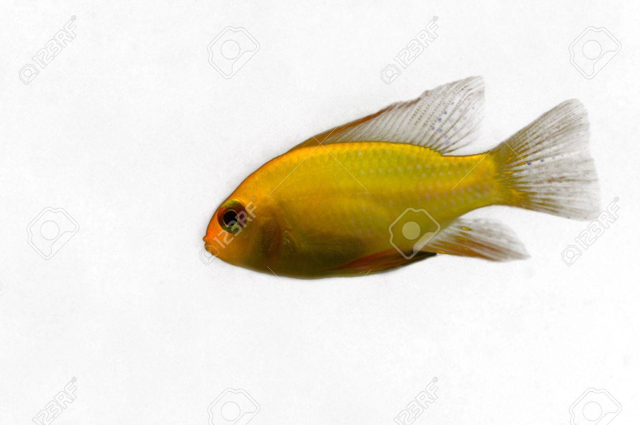 Microgeophagus ramirezi Stock Photo - 15272904