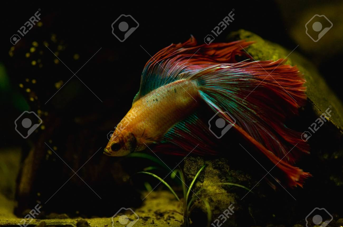 Betta splendens Stock Photo - 15272995