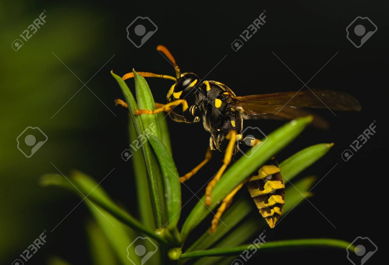 Wasp insect Stock Photo - 15468235