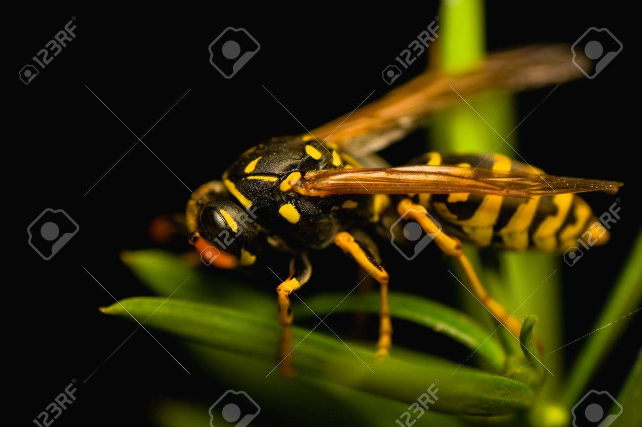 Wasp insect Stock Photo - 15468234