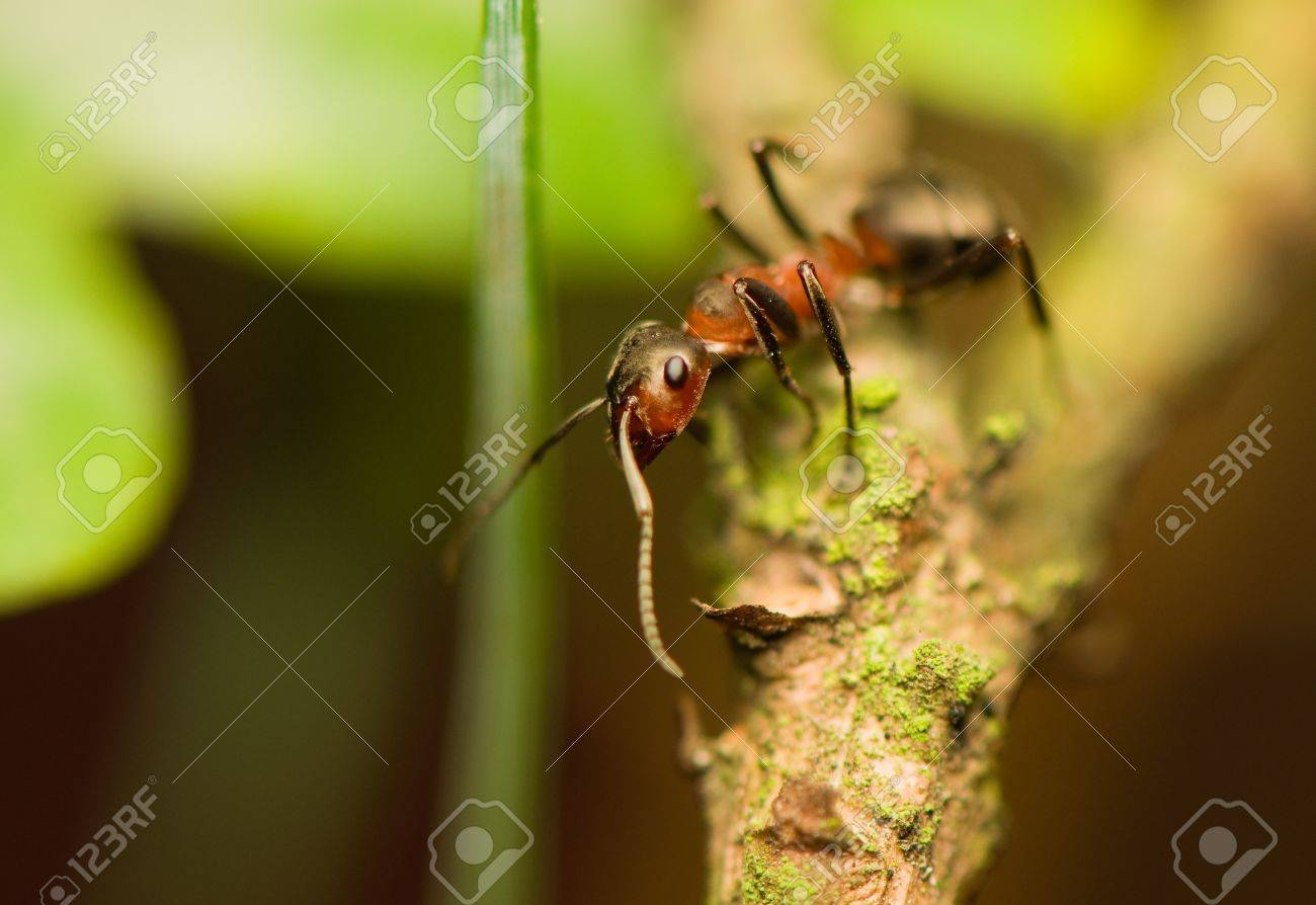 Ant - formica Stock Photo - 15639247